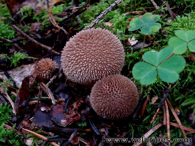 Lycoperdon nigrescens